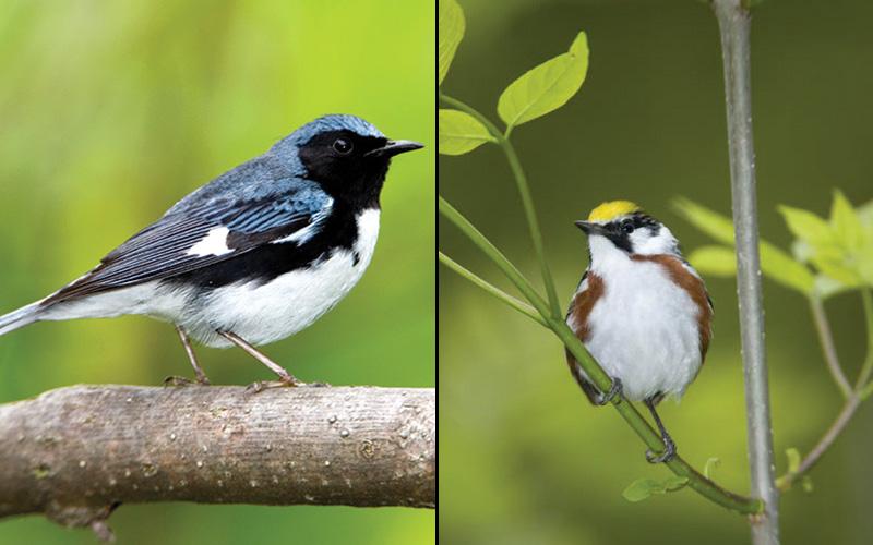 Black-throated Blue-Warbler and a Chestnut-sided Warbler