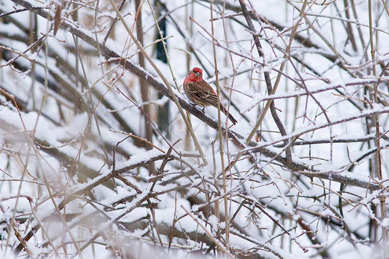 A Purple Finch in winter at the Nature Center at Shaker Lakes