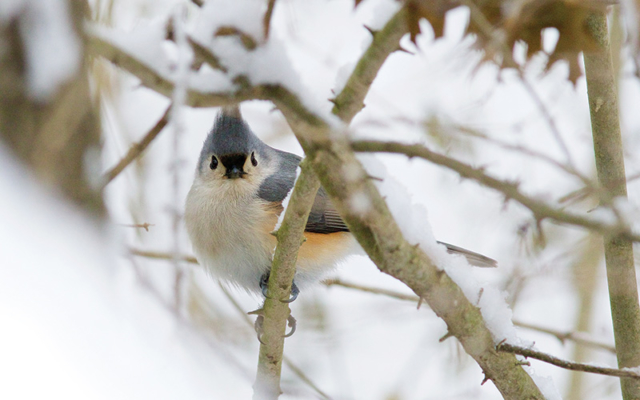 A titmouse at the Nature Center at Shaker Lakes in winter
