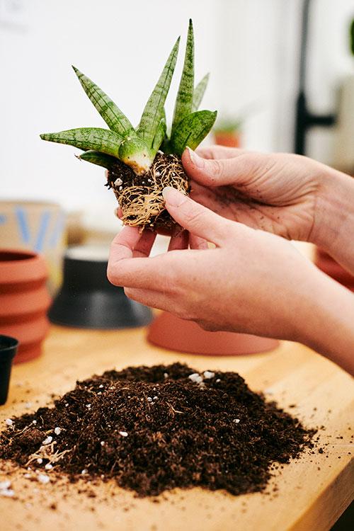 STUMP employee repotting plant